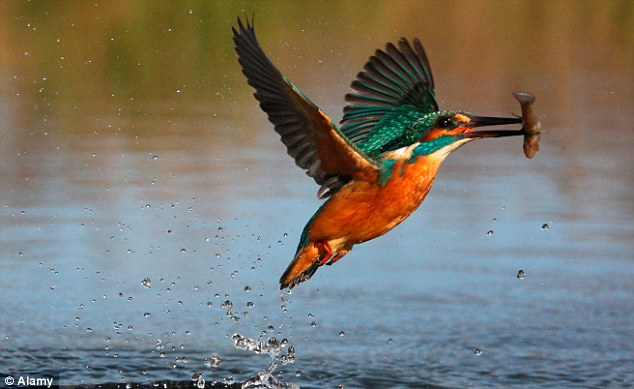 Kingfisher Birds colorful pics amazing http3A2F2Fi.dailymail.co .uk2Fi2Fpix2F20152F062F032F222F0D5A9F8000000578 0 image a 35 1433368751628 38 Most Amazing Pics of Kingfisher Birds