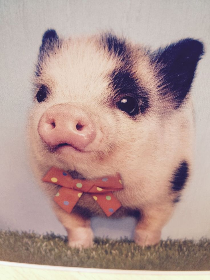 funny animals pig photos pictures lol 1476718f02b6038645a26ffcb844b1f8 bowties little pigs 44 Pics of Funny Pigs Will Make Your Day