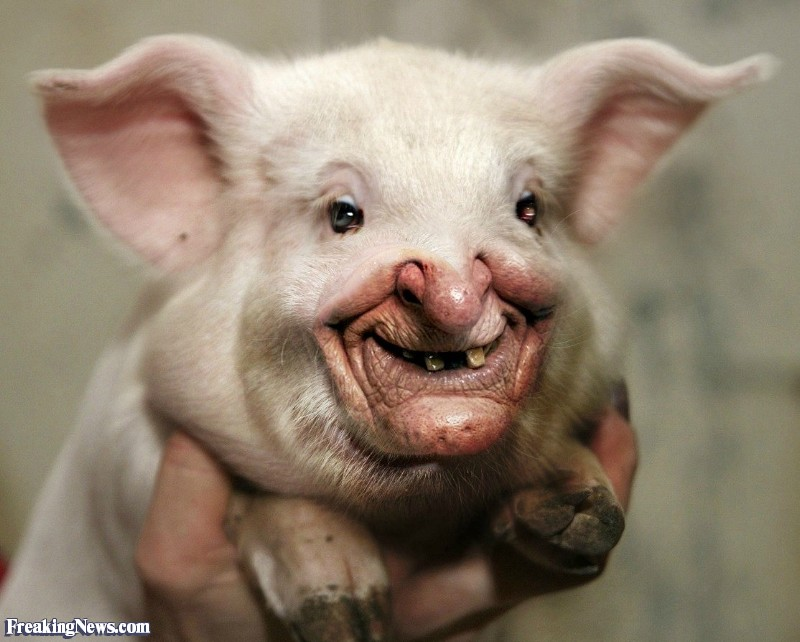 funny animals pig photos pictures lol Funny Pig With Weird Face 44 Pics of Funny Pigs Will Make Your Day
