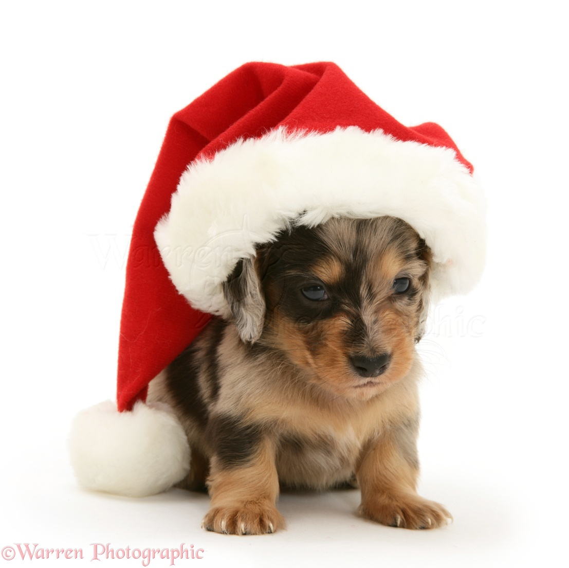 dog pup wearing a Santa hat white background 25 Photos of Dogs Wearing Hat Will Make Your Day